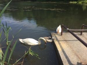 Swans062015 (640x480)