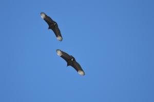black vulture western rth 006