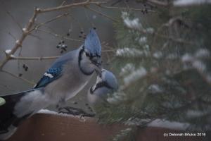 BLJA Pair Feeding (2)