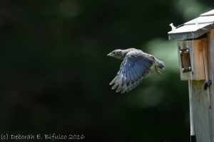 EABL fledging