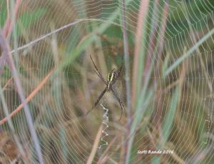 garden-spider_fog