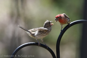 HOFI fledgling