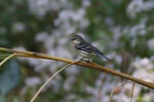 yr-warbler