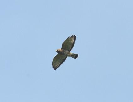 BW Hawk
