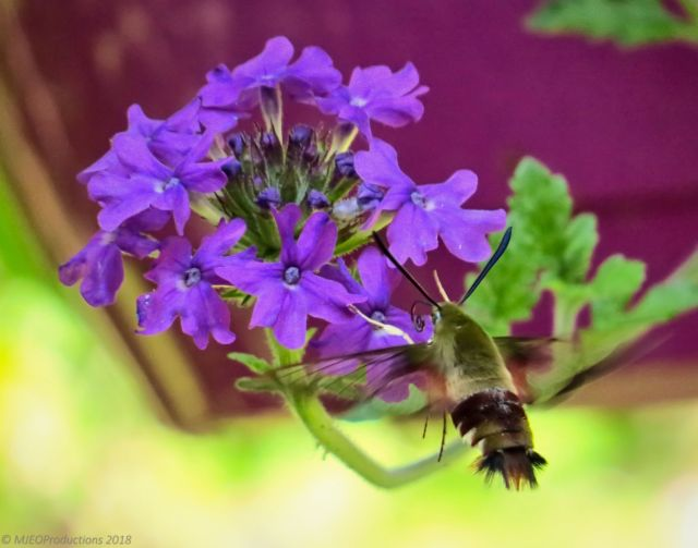 Hummingbird Clearwing Moth.JPG