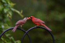 Northern Cardinals pair feeding