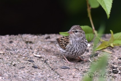 Chipping Sparrow Fledgling