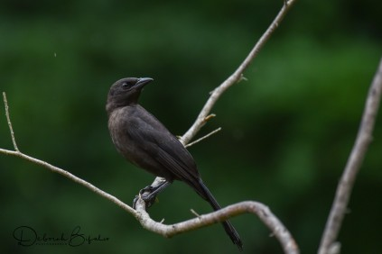 Fledgling Common Grackle