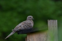 Fledgling Mourning Dove