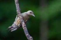 Fledgling Red-bellied Woodpecker