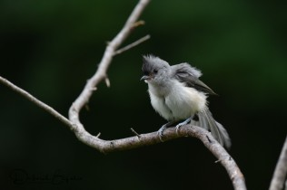 Fledgling Tufted Titmouse