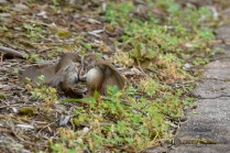 House Wren Fight