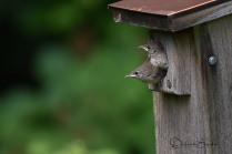 House Wrens Fledging