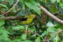 Male Scarlet Tanager non-breeding