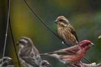 Yellow Purple Finch