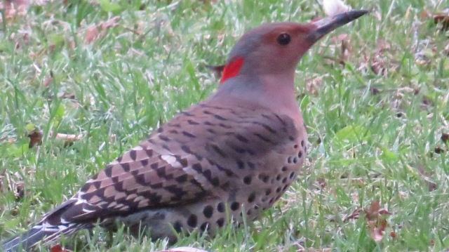 10-28-18 Northern Flicker a.JPG
