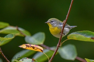 NorthernParula (2)