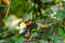 Female Black throated Blue Warbler