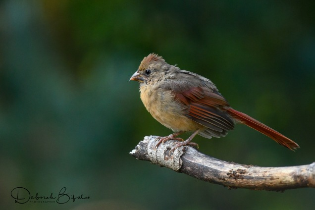 Fledgling Female N. Cardinal