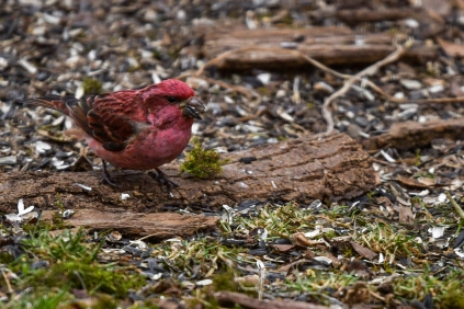 Puprle Finch Male