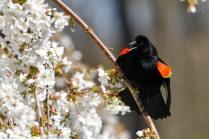 rw blackbird displaying