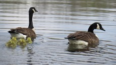 4-25-20 Canada Goose family at Hyper