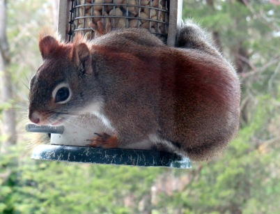 4-25-20 Red Squirrel d