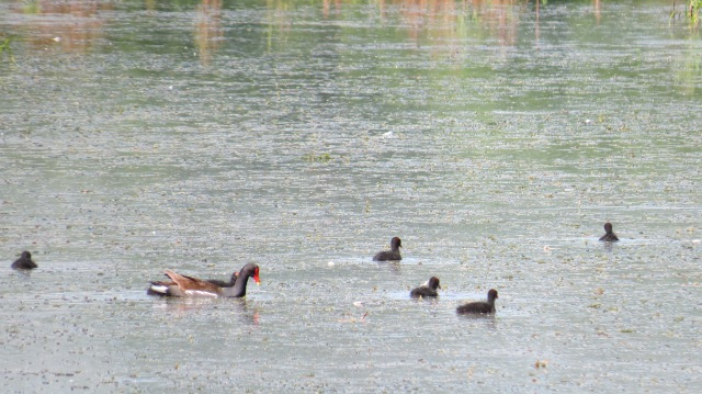 Common Gallinule wih young b