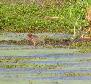 Green Heron 8-26-20