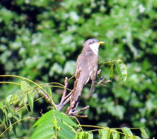Yellow-billed Cuckoo 8-26-20