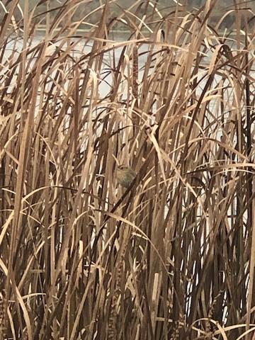Nelson's Sparrow-Bradley White
